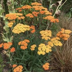 Achillea millefolium Orange...