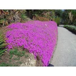 Delosperma cooperi pink -...