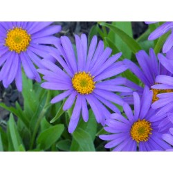 Aster alpinus Dark Beauty -...