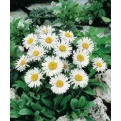 Aster alpinus White Beauty...