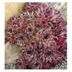 Sempervivum atropurpureum