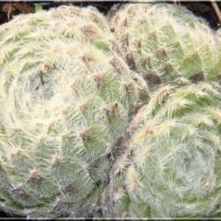 Sempervivum ciliosum Borisii