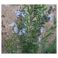 Rosmarinus officinalis -...