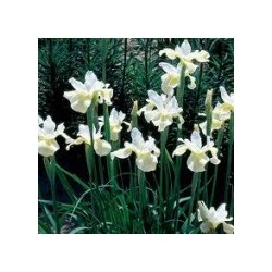 Iris sibirica (beli cvet)