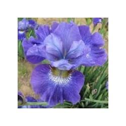 Iris sibirica (plavi cvet)