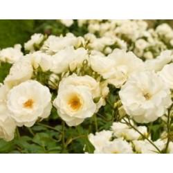 Ruža mnogocvetna (beli cvet)