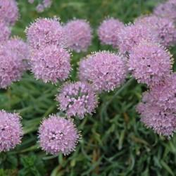 Allium senescens- Ukrasni luk