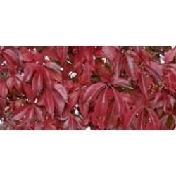 Pathenocissus quinquefolia