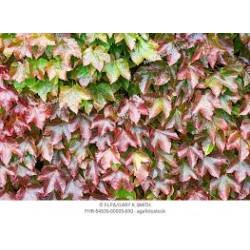 Parthenocissus tricispidata