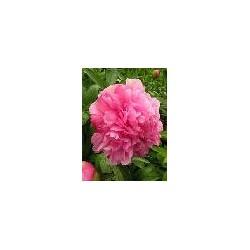 Božur (roze cvet)