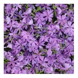Phlox subulata Purple Beauty
