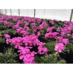 Phlox subulata Pink Mos