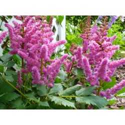 Astilbe chinensis pink-...