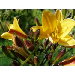 Hemerocallis dumortieri -...