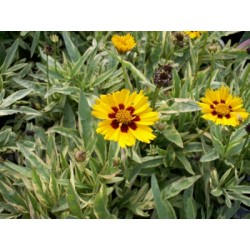 Coreopsis grandiflora...