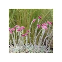 Antennaria dioica rubra-...