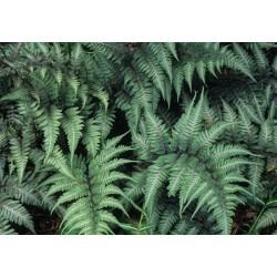 Athyrium niponicum Pictum -...