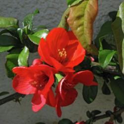 Chaenomeles japonica-...