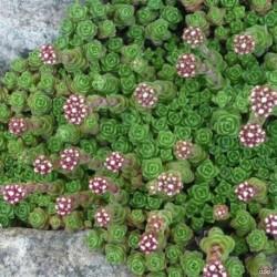 Crassula setulosa- Krasula