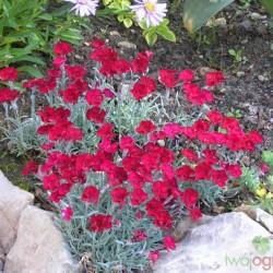 Dianthus gratianopolitanus...