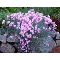 Dianthus plumarius Mrs....