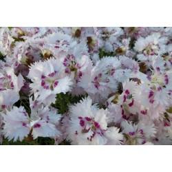 Dianthus plumarius White -...