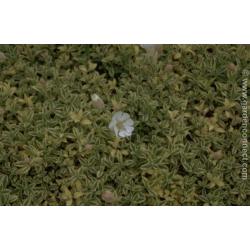 Silene maritima variegata