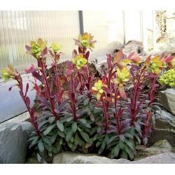 Euphorbia purpurea -...