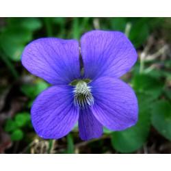 Viola sororia - ljubičast cvet