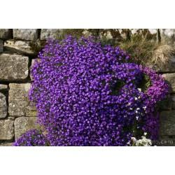 Aubretia Blue Cascade -...