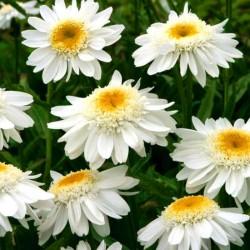 Chrysanthemum leucanthemum...