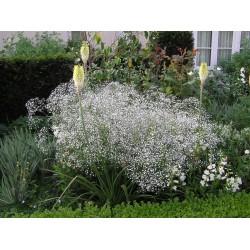 Gypsophila paniculata White...