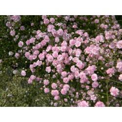 Gypsophila paniculata Rosea...