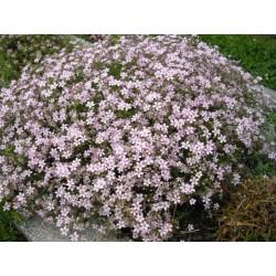 Gypsophila repens Rosea -...