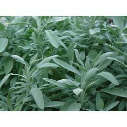 Salvia officinalis -...