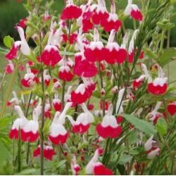 Salvia microphylla Hot Lips...