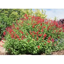 Salvia microphylla Royal...