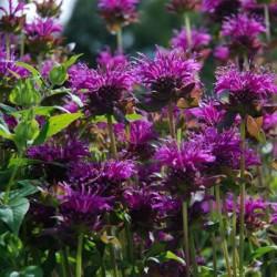 Monarda didyma Purple Rooster