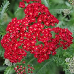 Achillea millefolium Red...