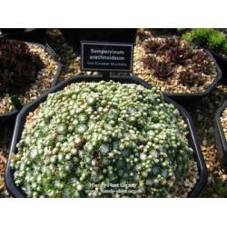 Sempervivum arachnoideum Minor