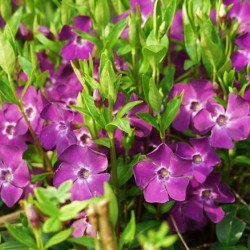 Vinca minor Atropurpurea -...
