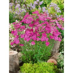 Achillea millefolium Pink...