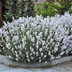 Lavandula angustifolia Alba...