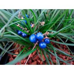 Ophiopogon chingii -...