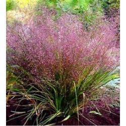 Eragrostis spectabilis...