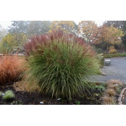 Miscanthus sinensis Red...