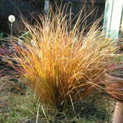 Carex testacea Orange Sedge...