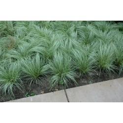 Carex Amazon Mist - ukrasna...