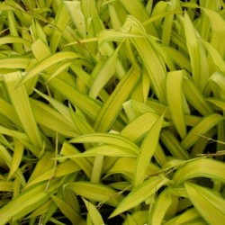 Carex Siderosticha Banana...