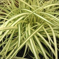 Carex oshimensis Evergold -...